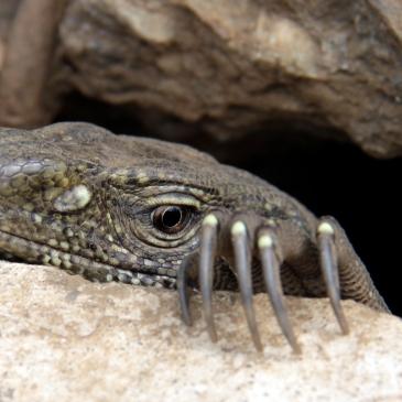 Waran auf Sri Lanka